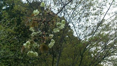 ★八重桜満開★_e0160569_215442100.jpg