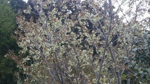 ★八重桜満開★_e0160569_2155095.jpg