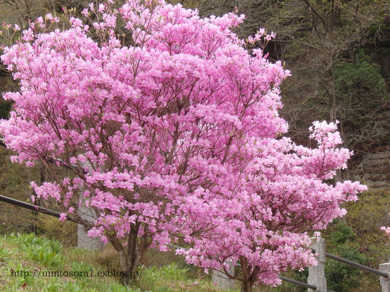 ミツバツツジが咲いてました_b0324291_21085838.jpg