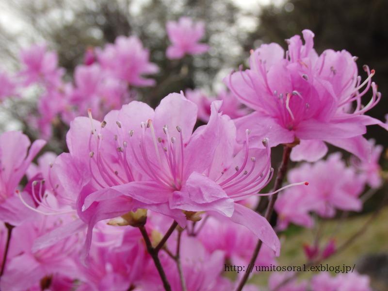 ミツバツツジが咲いてました_b0324291_21085877.jpg