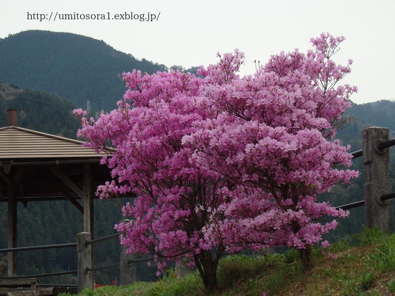 ミツバツツジが咲いてました_b0324291_21085896.jpg