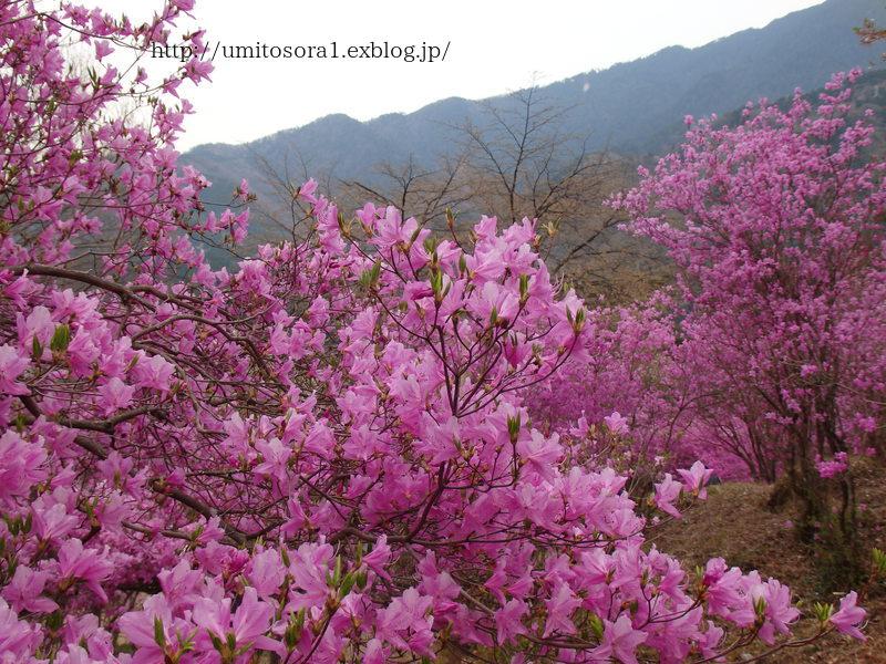 ミツバツツジが咲いてました_b0324291_21093725.jpg
