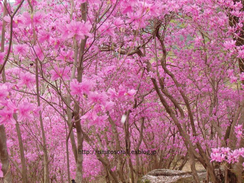ミツバツツジが咲いてました_b0324291_21094636.jpg