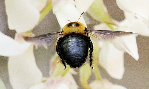 クマバチの画像 p1_3