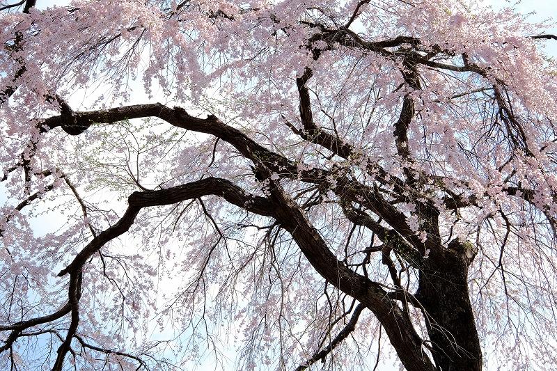 一関、そろそろ桜は・・・おしまい?_f0050534_14291841.jpg