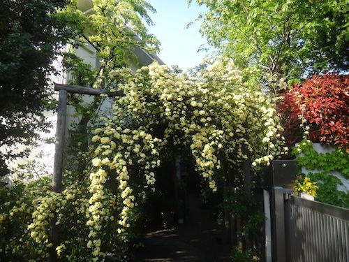 木香薔薇が咲いた_b0084241_2111262.jpg