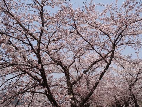 角館の桜_a0233551_133269.jpg