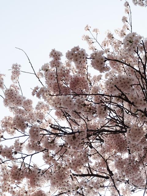 角館の桜_a0233551_1334384.jpg