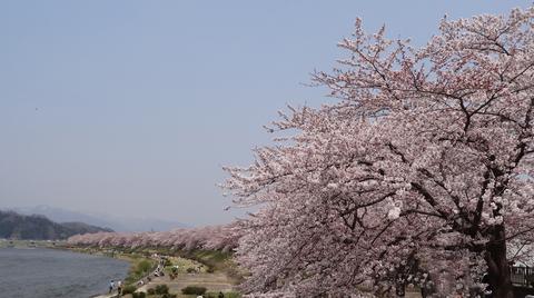 角館の桜_a0233551_133820.jpg