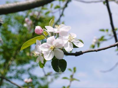 リンゴの花と株式会社旬援隊の敷地内の様子_a0254656_18172945.jpg