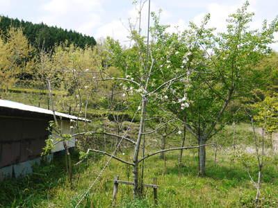 リンゴの花と株式会社旬援隊の敷地内の様子_a0254656_18484162.jpg