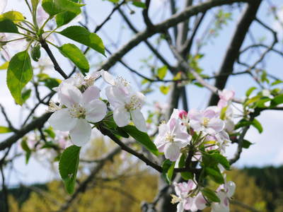 リンゴの花と株式会社旬援隊の敷地内の様子_a0254656_18532498.jpg