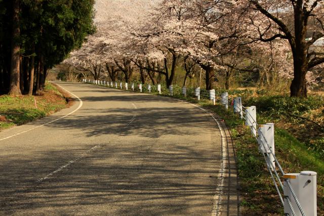 院内の桜_a0267861_22473064.jpg