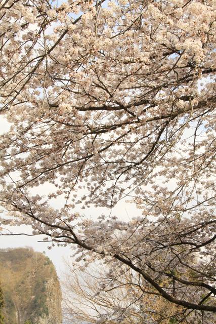 院内の桜_a0267861_22474724.jpg