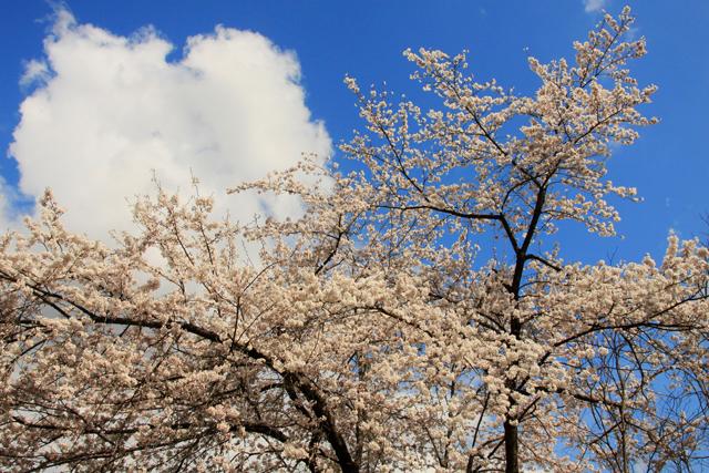 院内の桜_a0267861_2248129.jpg