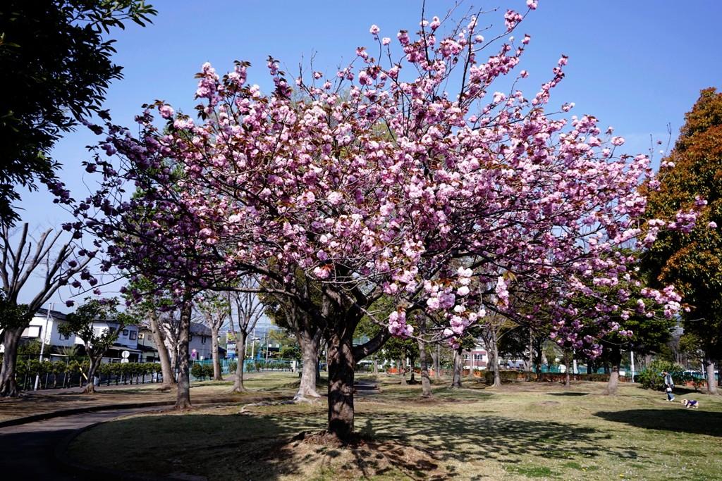 14年4月27日・八重桜_c0129671_12505980.jpg