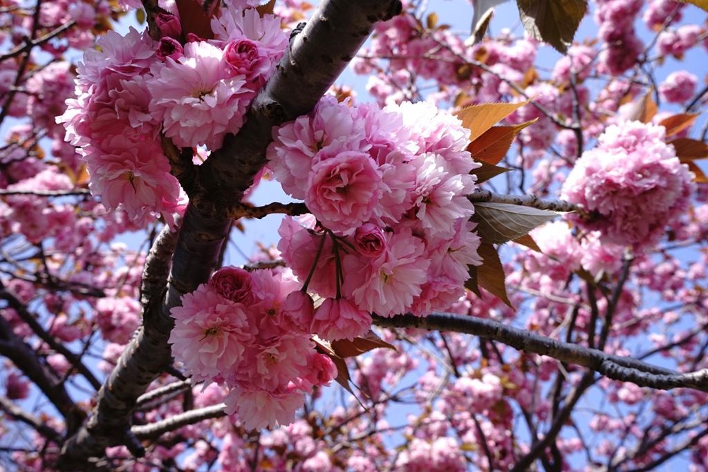 14年4月27日・八重桜_c0129671_12511237.jpg