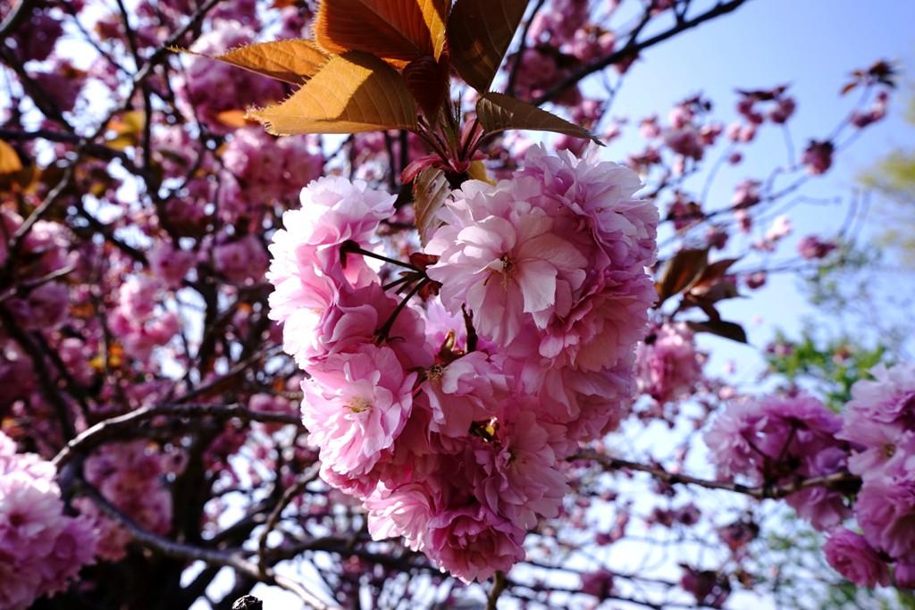14年4月27日・八重桜_c0129671_12511877.jpg