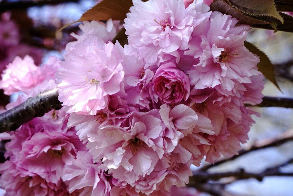 14年4月27日・八重桜_c0129671_12512429.jpg