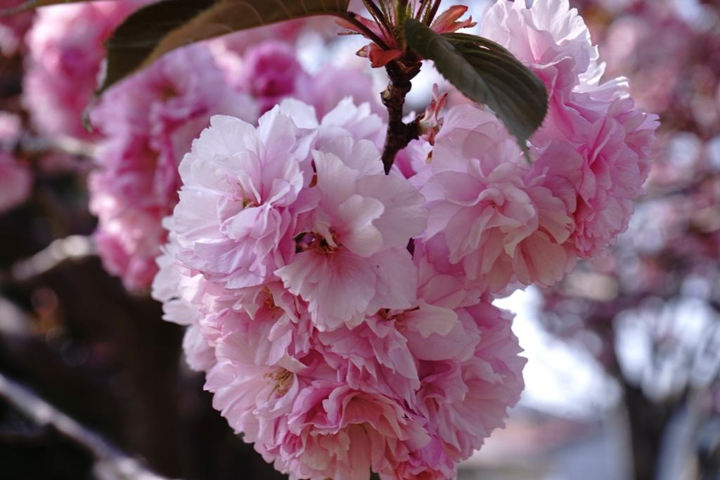 14年4月27日・八重桜_c0129671_12513147.jpg