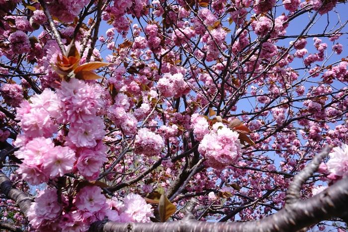 14年4月27日・八重桜_c0129671_1251550.jpg