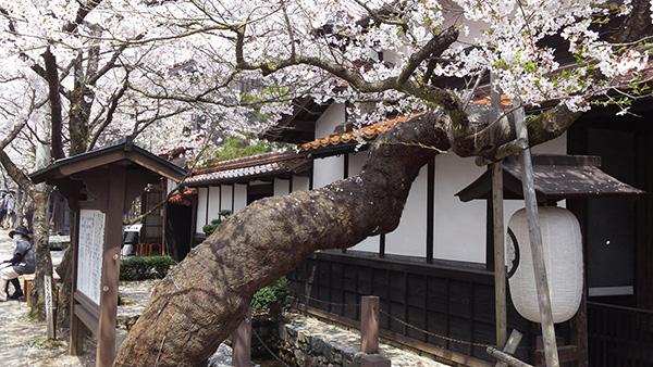 新庄村の名所「がいせん桜通り」_e0173183_1134531.jpg