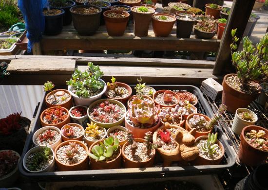多肉植物の寄せ植えをバラバラに~♪_a0136293_18123898.jpg