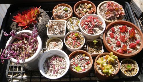 多肉植物の寄せ植えをバラバラに~♪_a0136293_18163458.jpg