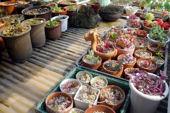 多肉植物の寄せ植えをバラバラに~♪_a0136293_18212557.jpg