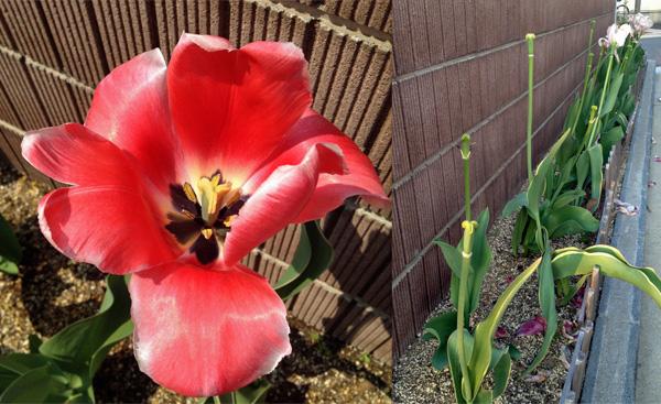 ついにチューリップの花が散った_a0000006_1122082.jpg