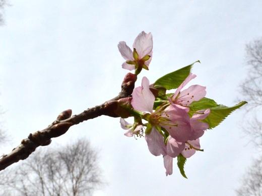 2014年4月28日(月):オオジシギもやってきた![中標津町郷土館]_e0062415_17251229.jpg