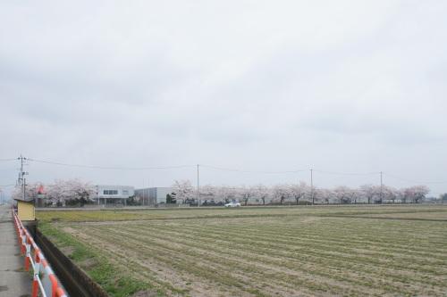 秋田工場の桜が見頃です_d0004728_13115403.jpg