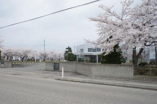 秋田工場の桜が見頃です_d0004728_13135530.jpg