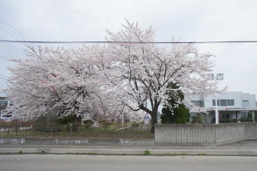 秋田工場の桜が見頃です_d0004728_13150035.jpg