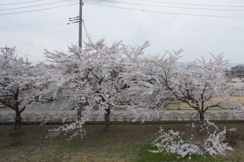 秋田工場の桜が見頃です_d0004728_13161699.jpg