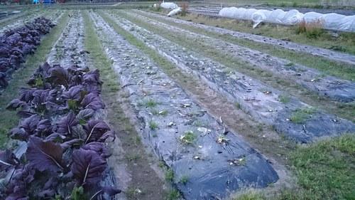 【飛鳥熊レス村】赤大葉高菜、最後の出荷と、赤紫蘇栽培の準備_c0010936_355837.jpg