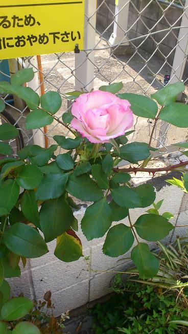 バラの季節がやってきます_d0155439_11225889.jpg