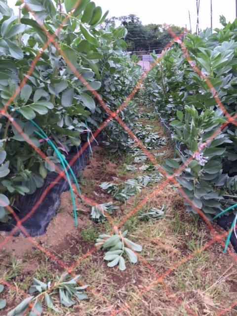 蚕豆の摘芯   今年初めて行いました 赤蚕豆のみです。_c0222448_17564426.jpg
