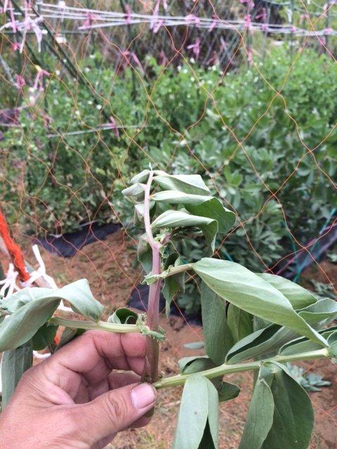 蚕豆の摘芯   今年初めて行いました 赤蚕豆のみです。_c0222448_17581425.jpg