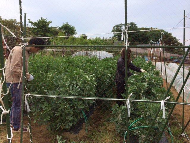 蚕豆の摘芯   今年初めて行いました 赤蚕豆のみです。_c0222448_17592343.jpg