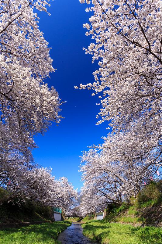 井手玉川・爽やかな青空と満開の桜たち_f0155048_021215.jpg