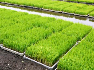 砂田米 今年も砂田のれんげ米!れんげが満開です!!_a0254656_1846176.jpg