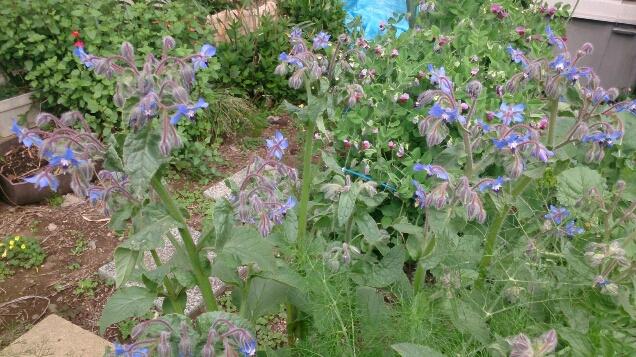 初夏の畑はボリジの花が満開_d0116059_22155815.jpg