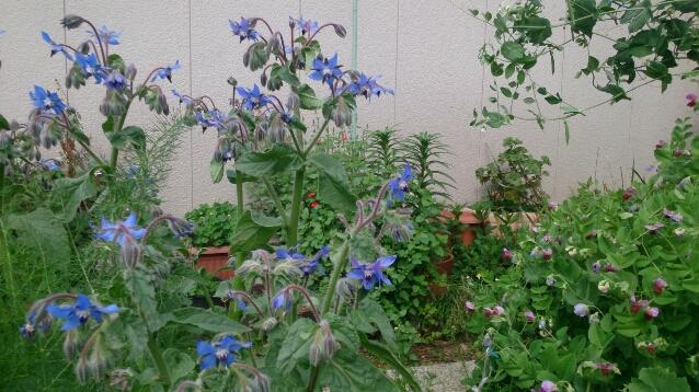 初夏の畑はボリジの花が満開_d0116059_22184943.jpg