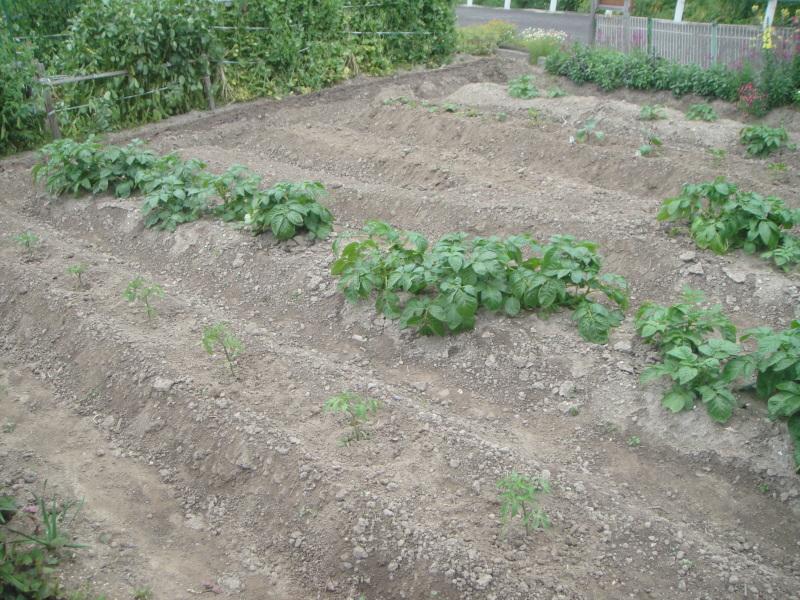 夏野菜の植え付けが ようやく終わりました_c0108460_20435230.jpg