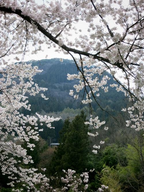 PANI『茶房パニ』でお花見ランチ♪ @上田_f0236260_11452366.jpg