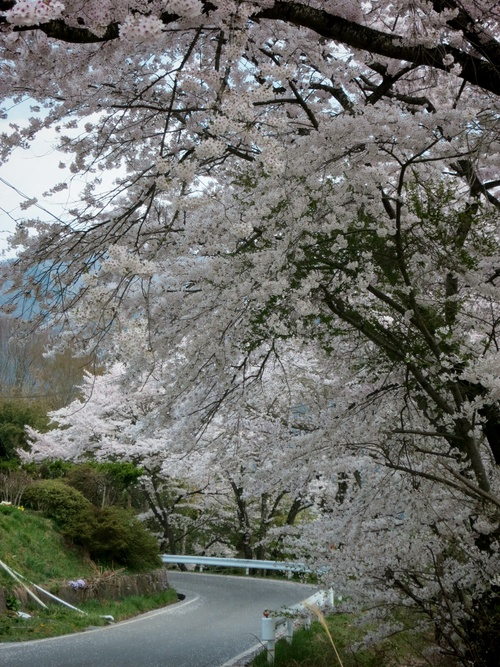 PANI『茶房パニ』でお花見ランチ♪ @上田_f0236260_157355.jpg