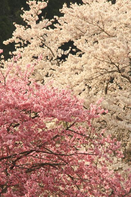 新屋の桜_a0267861_20103474.jpg