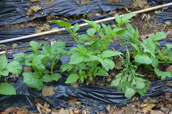 フキ収穫、キャラブキに、ゴーヤの苗植え付け4・25~26_c0014967_1113924.jpg
