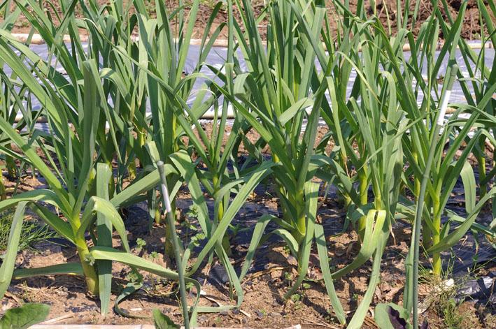 フキ収穫、キャラブキに、ゴーヤの苗植え付け4・25~26_c0014967_1123360.jpg